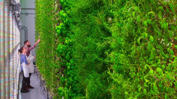 Вертикальні овочеві ферми Plenty дають у 350 разів більше врожаю