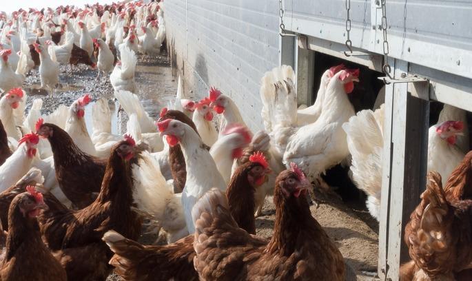 Катар зняв обмеження на ввезення української курятини