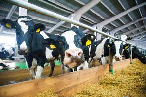Україна нарешті отримала дозвіл на експорт яловичини у Китай