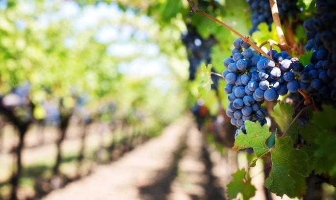 Францію чекає рекордне скорочення виробництва вина