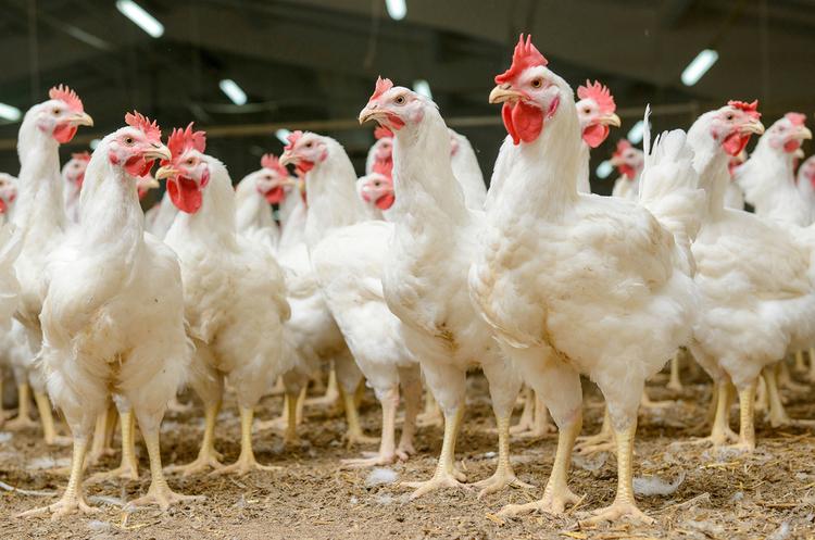 ОАЕ зняли заборону на імпорт української курятини