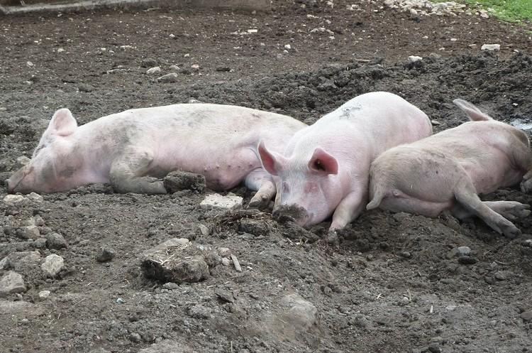 Кількість спалахів африканської чуми свиней в Україні перевищила минулорічний показник