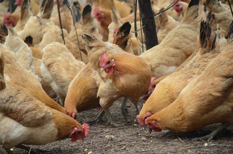 АМКУ почав розслідувати причини стрімкого зростання вартості курятини