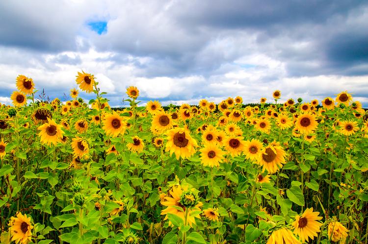 Обсяг експорту українських олійних культур виріс майже вдвічі