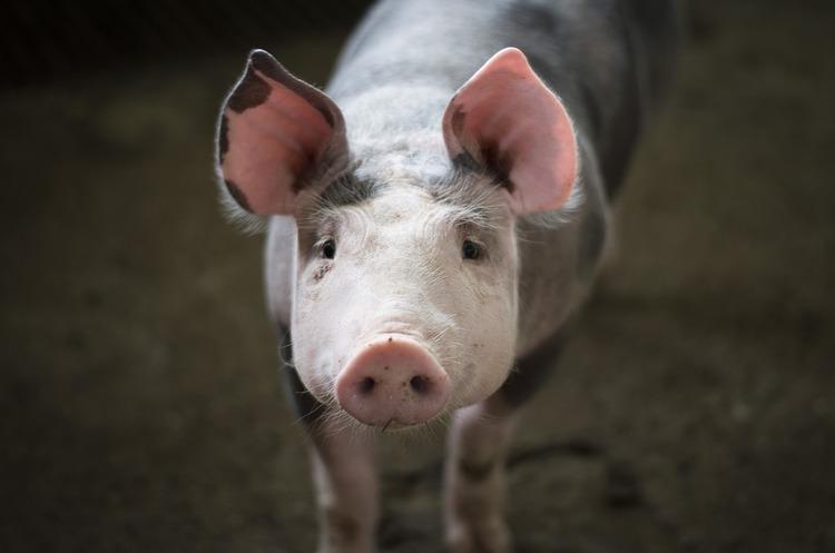 Росія заборонила ввіз української свинини