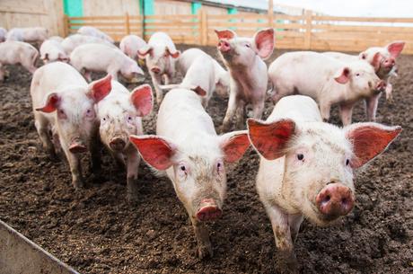 Свині не винні: чому виробництво традиційного українського продукту стало невигідним