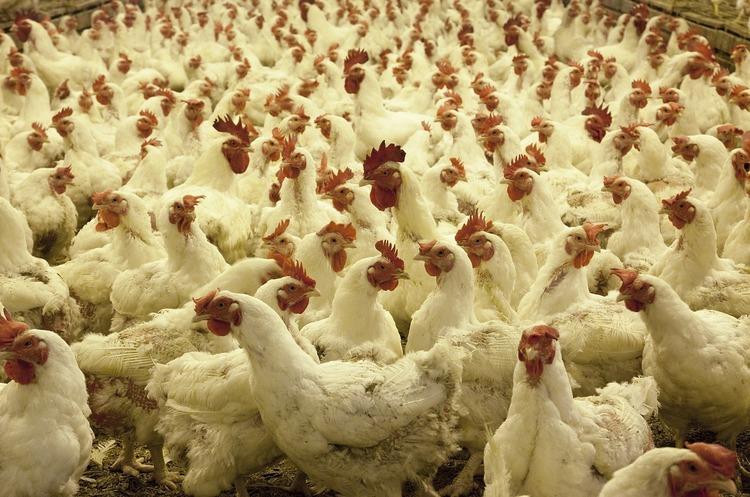 Попереду лише Бразилія: чому українці нехтують свининою заради курятини