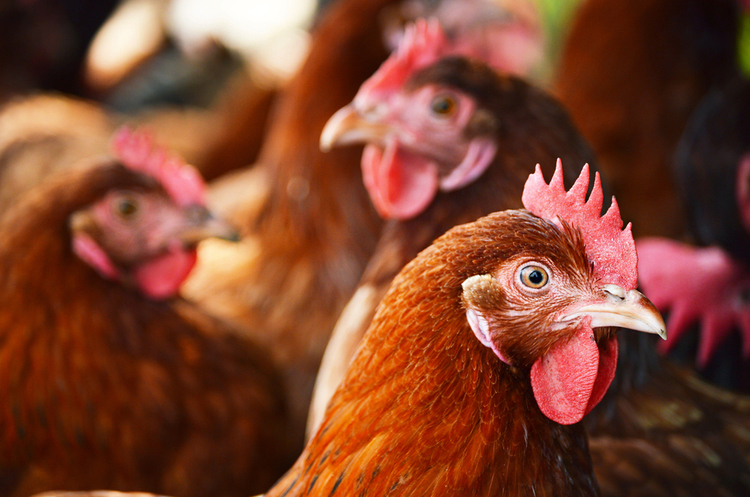 Змова птахівників: чи вдасться знизити ціни на курятину