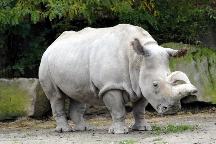 Вчені хочуть клонувати північних білих носорогів, щоб врятувати вид від вимирання