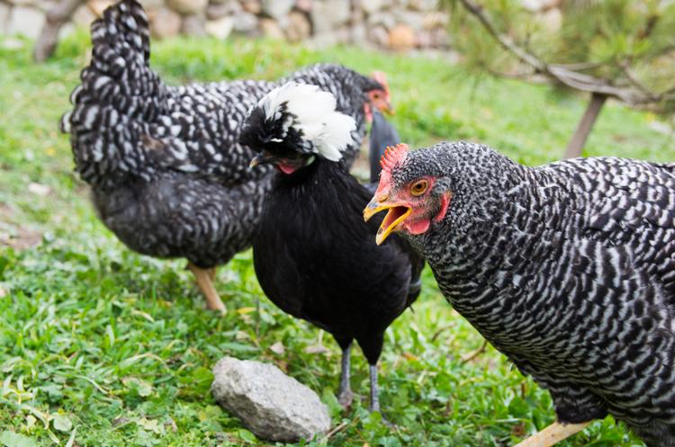 Виробник яєць і яєчних продуктів інвестує $15 млн у будівництво птахофабрик