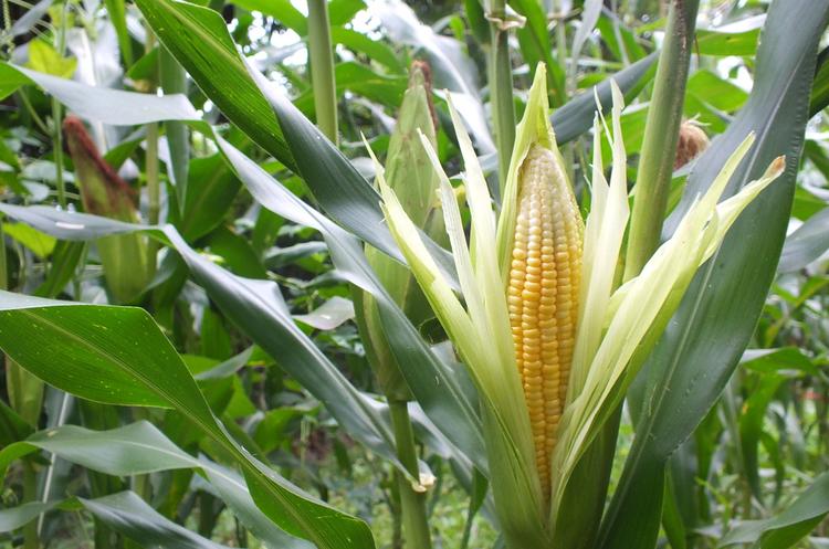 Кукурудза буде: 99% запланованих площ засіяно під зерно