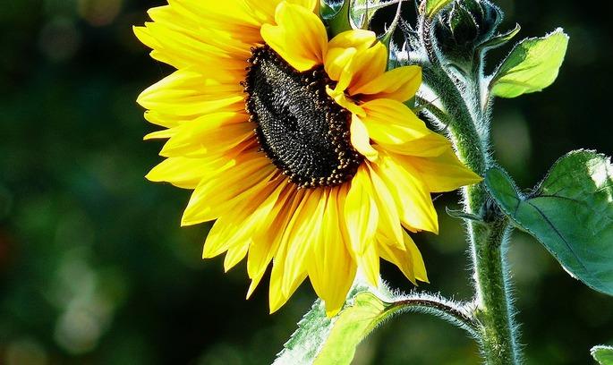 АМКУ може перевірити можливу змову на ринку соняшникової олії