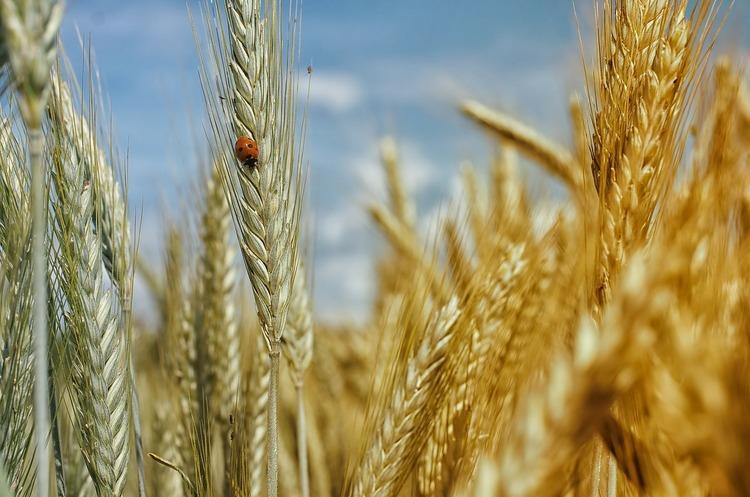 Конфлікт США і Китаю вигідний для України з точки зору постачання зерна – Reuters