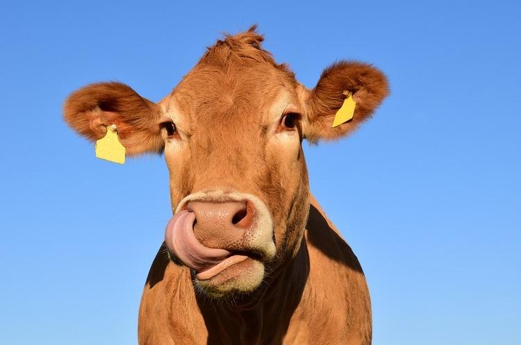Нідерландський стартап виготовляє тканину з коров'ячих екскрементів