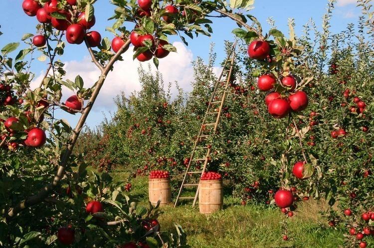 Україна в цьому сезоні експортувала рекордний обсяг яблук за останні 5 років
