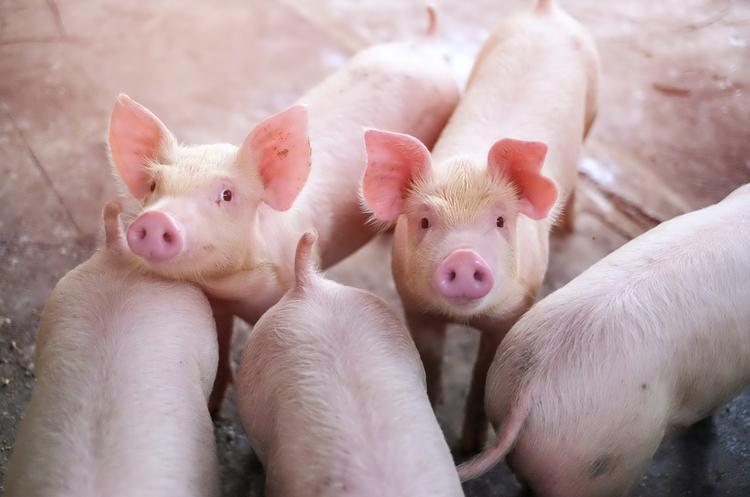 Свиней з Данії вирощуватимуть за швейцарськими технологіями на Вінниччині