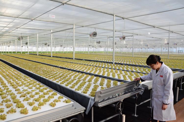 19 урожаїв на рік: китайський гігант e-commerce відкрив найбільшу в світі гідропонну овочеферму