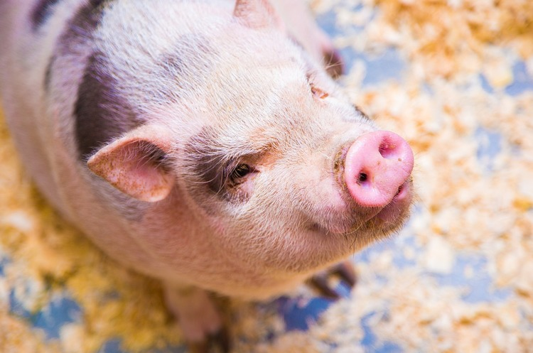 Why Ukraine Suffers Huge Losses from African Swine Fever