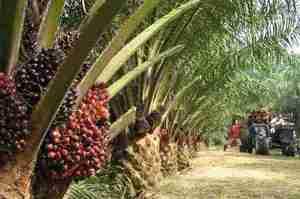 Малайзія погрожує не купувати європейські винищувачі, якщо ЄС відмовиться від її пальмової олії