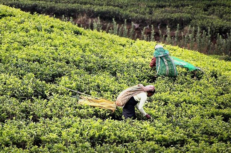 Продажі зеленого чаю втричі випереджають продажі чорного – ООН