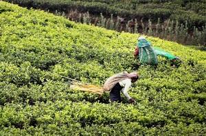 Через засуху поставки чорного чаю можуть суттєво впасти – Bloomberg