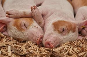 І чума не лякає: найбільший виробник кормів у КНР збудує три свиноферми у В'єтнамі