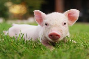 Експерти прогнозують зростання цін на свинину в Україні