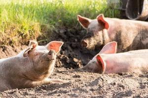 На Хмельниччині у свиногосподарствах від не вірусних патологій загинуло 7720 свиней