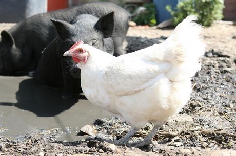 Іронія долі: як Всеукраїнська аграрна рада «підклала свиню» аграріям