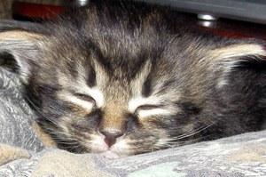 У Китаї вперше успішно клонували кошеня (ВІДЕО)