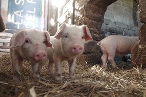 В Україні відправлять на забій 100 000 свиней через АЧС