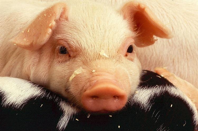 Білорусь обмежила ввезення свинини з Львівської області через АЧС