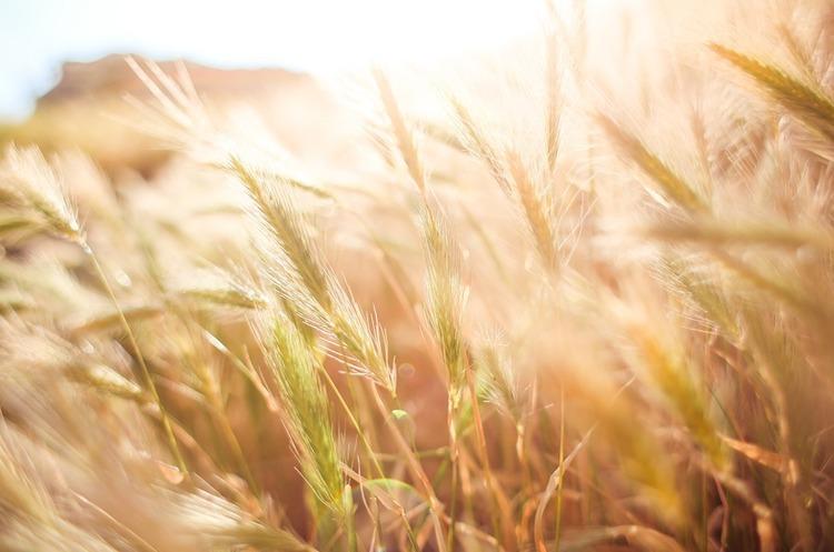 Україна стала основним постачальником пшениці в ЄС