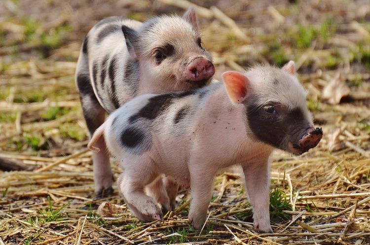 Свиноферма на Львівщині знищила понад 72 000 свиней через АЧС