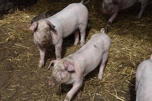 Через АЧС світове поголів'я свиней скоротилось на 17%