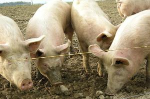 Чверть світової популяції свиней загине через АЧС – Міжнародне епізоотичне бюро
