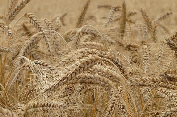 Мінекономіки звітує про рекордний урожай зернових, НБУ очікує приплив валюти