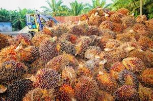 Виробники пальмової олії створять фонд для боротьби з критиками