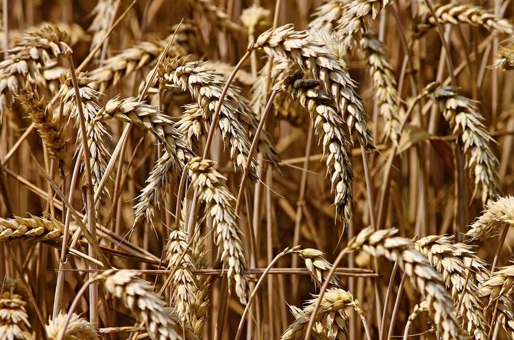 Ефіопія зацікавлена в поставках зерна з України
