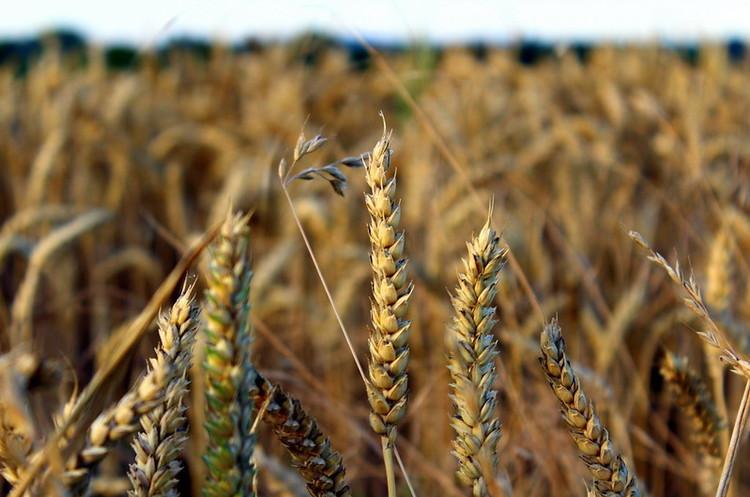 Врожай зернових та зернобобових в 2019 склав близько 75 млн тонн – Мінекономіки