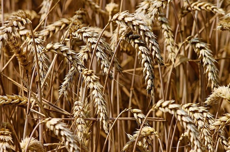 Бангладеш розглядає українську пшеницю в якості альтернативи російській