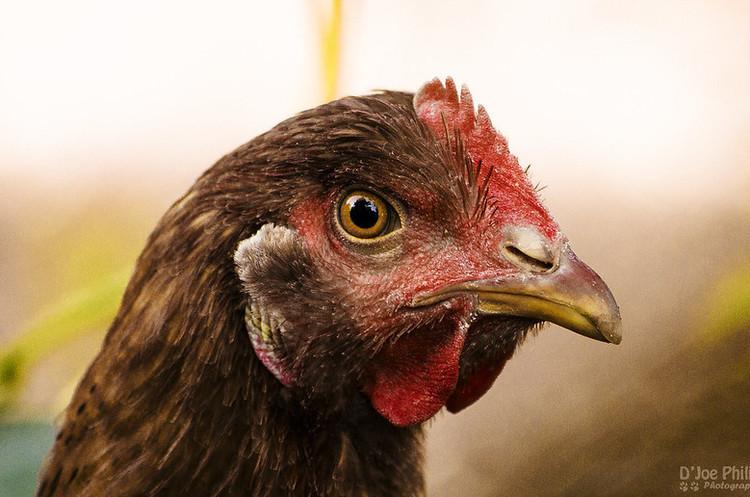 Євросоюз тимчасово призупинив ввезення м'яса птиці з України