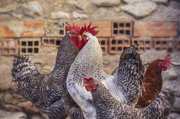 Білорусь заборонила ввіз птиці з Вінницької області через пташиний грип