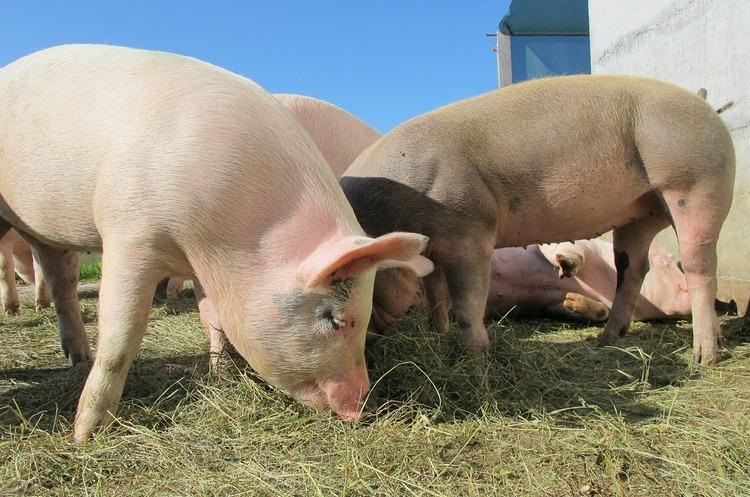 Гроші за голову: на яку компенсацію втрат від АЧС розраховують свинарі