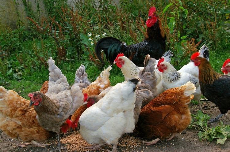 Україна вже цього року стане світовим лідером за темпом зростання виробництва курятини – Милованов