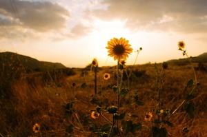 Страхова компанія ІНГО Україна відшкодувала агропідприємству збитки за зменшення врожайності соняшника