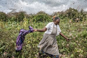 В Африці – найбільше за 70 років нашестя сарани, країнам загрожує голод