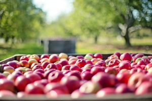 Імпорт яблук в Україну виріс усемеро