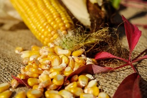 Експорт українського ріпаку та кукурудзи в ЄС може зупинитись  – експерти