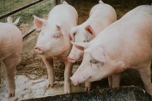 Тиск на ціну свинини з боку імпортної сировини зменшився, з боку доступнішого м'яса птиці зріс – АСУ